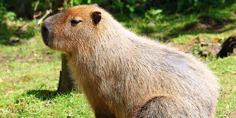 Capybara at Blackpool Zoo
