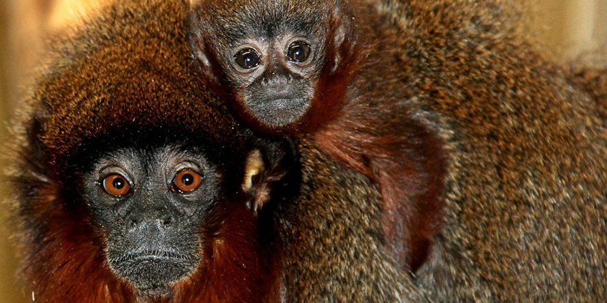 Blackpool Zoo's Red Titi Monkeys