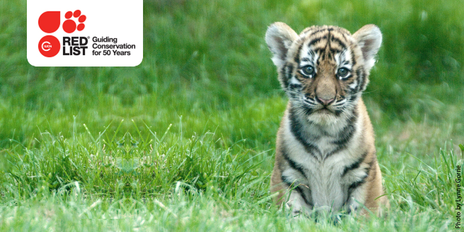 Tiger cub at Blackpool Zoo - IUCN Red List
