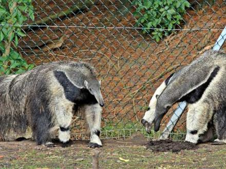 Anteaters at Blackpool Zoo