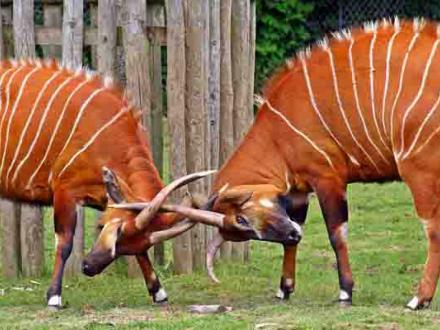 Bongo locking horns at Blackpool Zoo