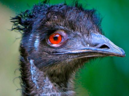 Emu at Blackpool Zoo