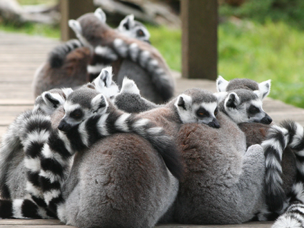 Lemurs at Blackpool Zoo