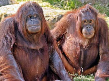 Mother and daughter borean orangutans at Blackpool Zoo