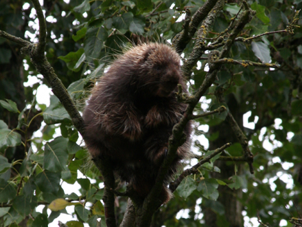 Tree Porcupine