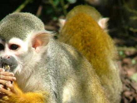 Squirrel monkey eating in walk through Amazonia exhibit at Blackpool Zoo