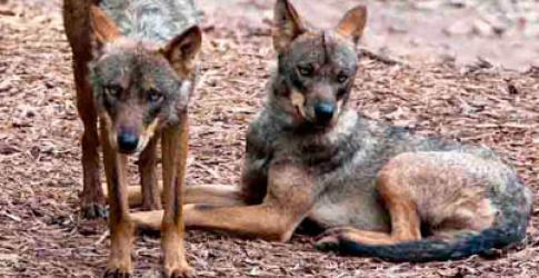 The first canine exhibit, Wolf Ridge, opens at Blackpool Zoo