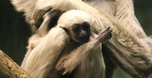 Pileated Gibbon baby