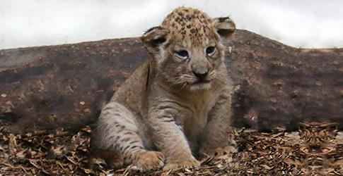 Khari the lion cub