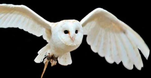 New arrival Barn Owl