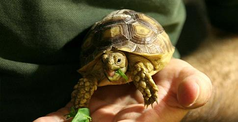 Sulcata Tortoises arrive at Blackpool Zoo