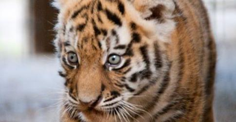 Siberian tiger cub at Blackpool Zoo