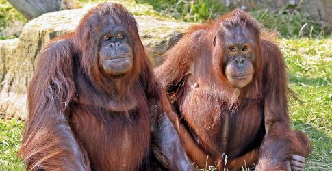 Orangutans at Blackpool Zoo