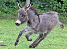Donkey running in paddock at Blackpool Zoo